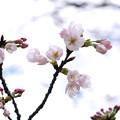 2018.03.23 瀬谷市民の森 サクラ