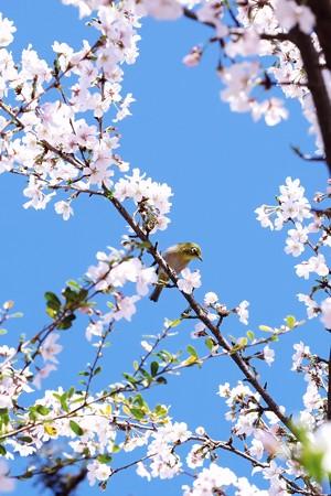 2018.03.25 隣町 桜にメジロ