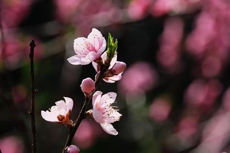 2018.03.27 追分市民の森 桜背景花桃