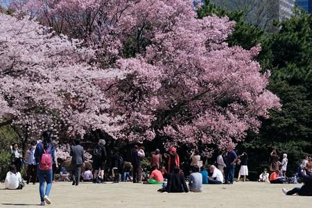 2018.03.30 皇居 皇居東御苑 芝生で桜