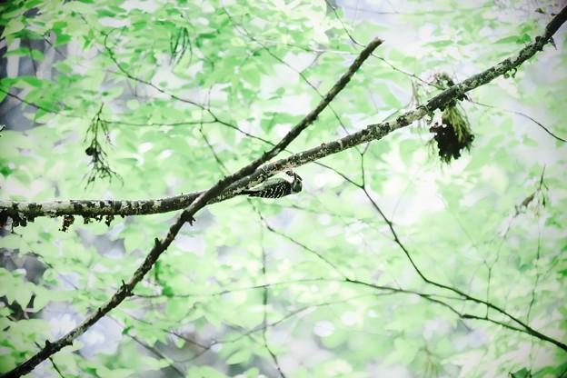 2018.04.29 瀬谷市民の森 コゲラ
