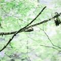 写真: 2018.04.29 瀬谷市民の森 コゲラ