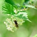 2018.04.30 追分市民の森 小米空木にハバチ