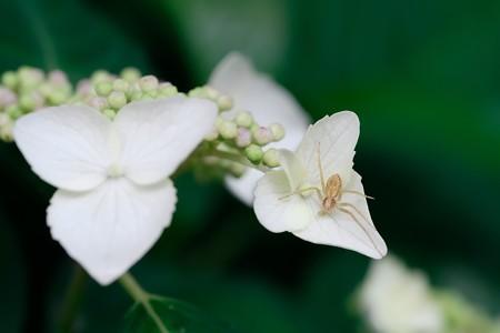 2018.05.24 和泉川 紫陽花にアサヒエビグモ