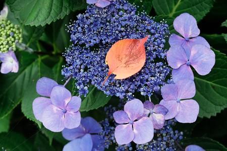 2018.06.14 瀬谷市民の森 紫陽花に桜