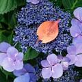 写真: 2018.06.14 瀬谷市民の森 紫陽花に桜