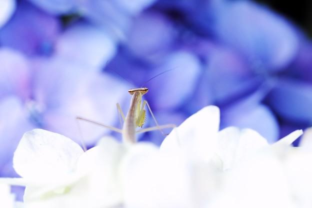 2018.06.19 和泉川 紫陽花でカマキリ 隣の山