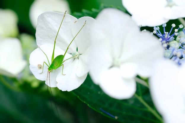2018.06.19 和泉川 紫陽花でサトクダマキモドキ