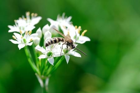 2018.09.05 追分市民の森 韮にハラナガツチバチ