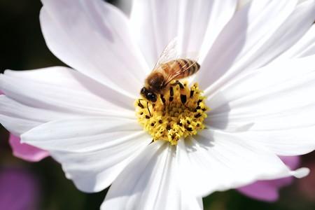 2018.11.03 追分市民の森 秋桜でミツバチ