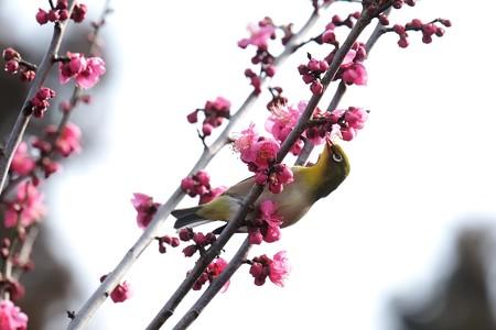 2019.02.07 和泉川 紅梅でメジロ