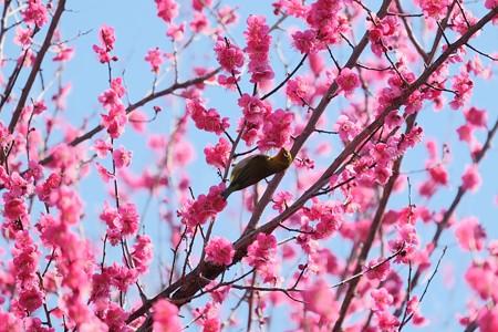 2019.02.18 和泉川 紅梅へメジロ 光の春