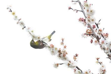 2019.02.21 和泉川 梅とメジロ
