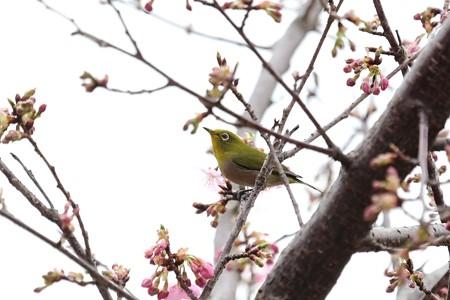 2019.02.26 和泉川 河津桜にメジロ