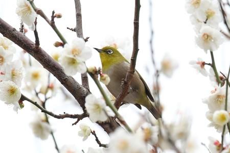 2019.02.26 和泉川 梅でメジロ