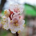 Photos: 2019.03.06 隣町 ウメ