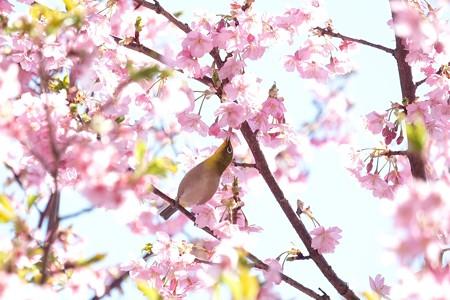 2019.03.09 和泉川 河津桜でメジロ