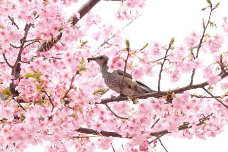 2019.03.10 追分市民の森 河津桜にヒヨドリ