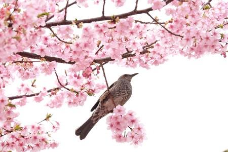 2019.03.10 追分市民の森 河津桜へヒヨドリ