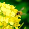 2019.03.10 追分市民の森 菜の花でミツバチ