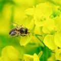 2019.03.10 追分市民の森 菜の花へミツバチ