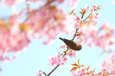 2019.03.15 追分市民の森 河津桜でメジロ