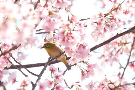 2019.03.15 追分市民の森 河津桜にメジロ