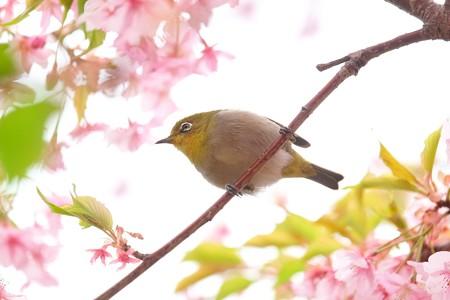 2019.03.16 和泉川 河津桜でメジロ
