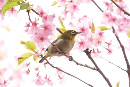 2019.03.16 和泉川 河津桜へメジロ