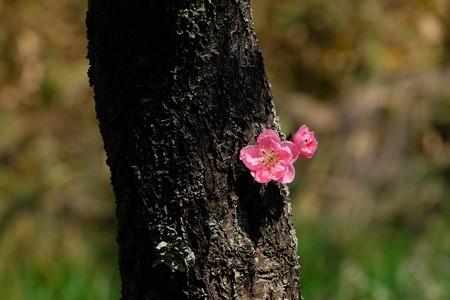 2019.03.17 追分市民の森 ハナモモ 老木