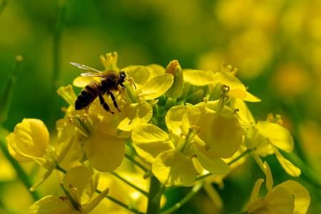 2019.03.17 追分市民の森 菜の花にミツバチ