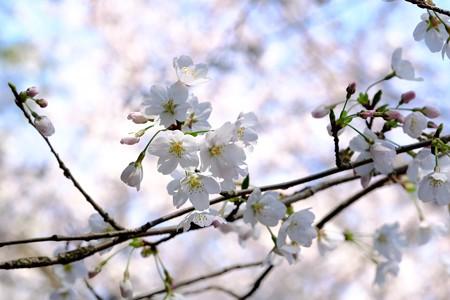 2019.03.27 追分市民の森 ソメイヨシノ