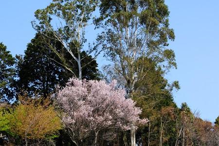 2019.03.27 追分市民の森 桜とユーカリ