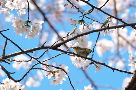2019.04.01 追分市民の森 染井吉野にメジロ