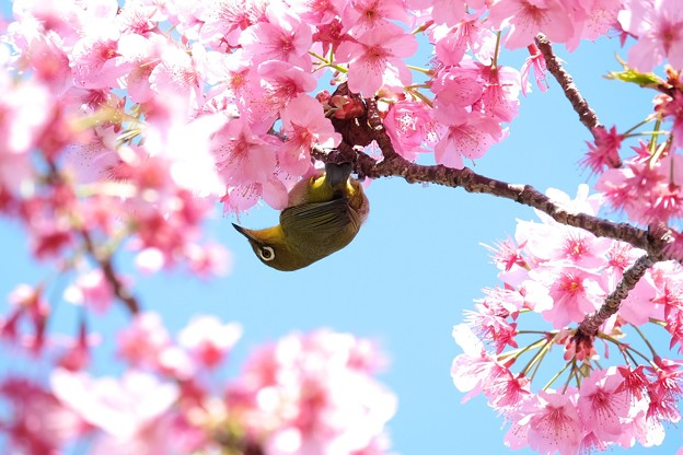 2019.04.03 和泉川 桜へメジロ