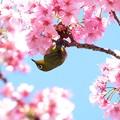 Photos: 2019.04.03 和泉川 桜へメジロ