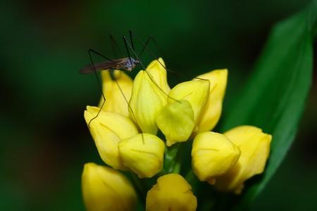 2019.04.28 瀬谷市民の森 寒さに花を窄めた金蘭にガガンボ