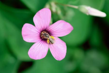2019.05.01 追分市民の森 イモカタバミに小さなハチ