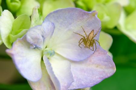 2019.06.08 追分市民の森 紫陽花にササグモ
