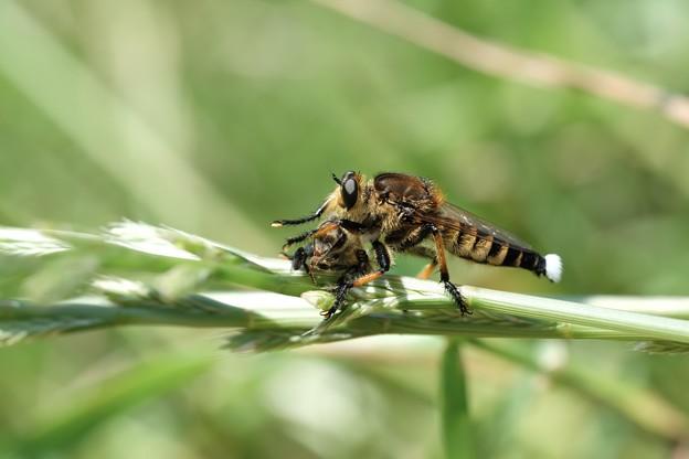 Photos: 2019.06.13 和泉川 シオヤアブに狩られしミツバチ