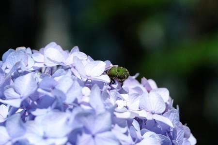 2019.06.13 和泉川 紫陽花にコアオハナムグリ