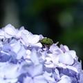 Photos: 2019.06.13 和泉川 紫陽花にコアオハナムグリ