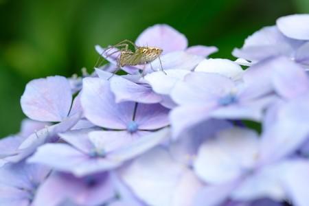 2019.06.21 和泉川 紫陽花とササグモ