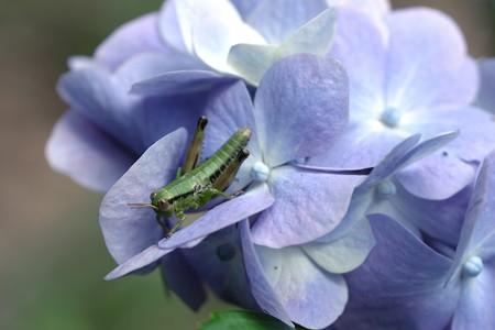 2019.06.25 瀬谷市民の森 紫陽花へフキバッタ