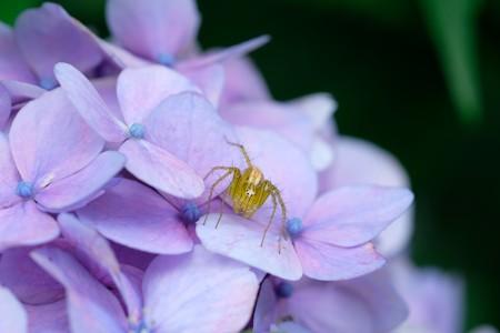 2019.07.11 和泉川 紫陽花にササグモ