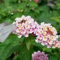 Photos: 2019.07.17 隣町 ランタナに紋白蝶
