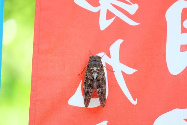 2019.08.02 興福寺 入口 桃太郎旗に空蝉 殻主