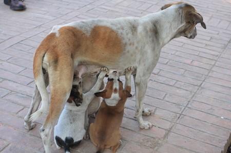 2010.01.31 バナーラス ダメーク・ストゥーパ 母犬