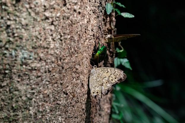 2019.08.18 追分市民の森 クヌギの樹液にアオカナブンやサトキマダラヒカゲ