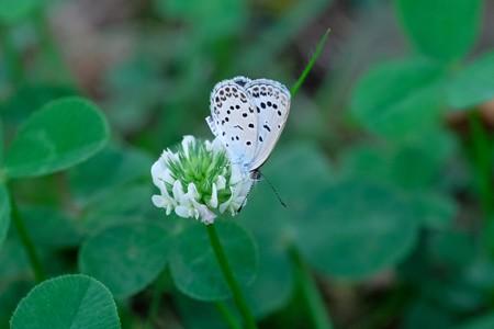 2019.09.06 和泉川 シロツメクサに大和小灰蝶